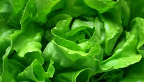 Butter Lettuce Background